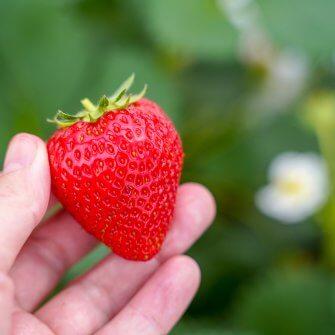 オーガニックいちご収穫体験 @京都府八幡市 かみむら農園